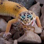 2525820-un-jeune-gecko-l-opard-est-de-manger-un-grillon