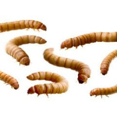 achat insectes vivants