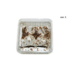 Grillons Domesticas T.1 (2/3 mm) – boite de 150