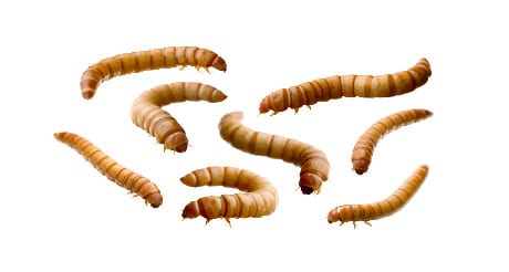 vers de farine achat insectes vivants